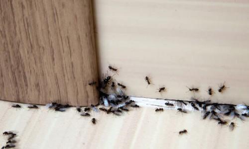 Karıncaları doğal yollarla evden uzaklaştırmak için